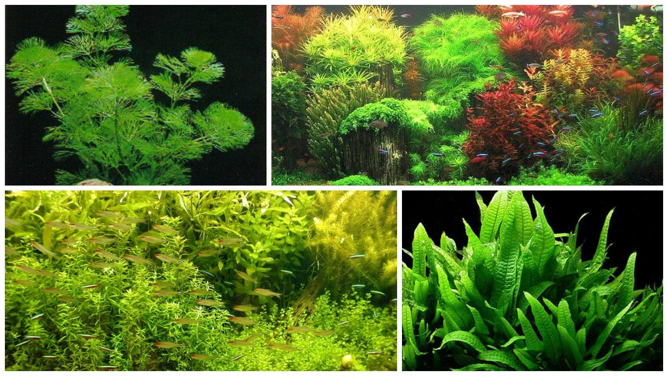 Plantas de acuario todoacuarios for Plantas de acuario