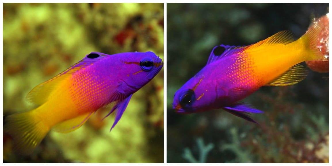 Peces de acuario todoacuarios for Temperatura para peces tropicales acuario