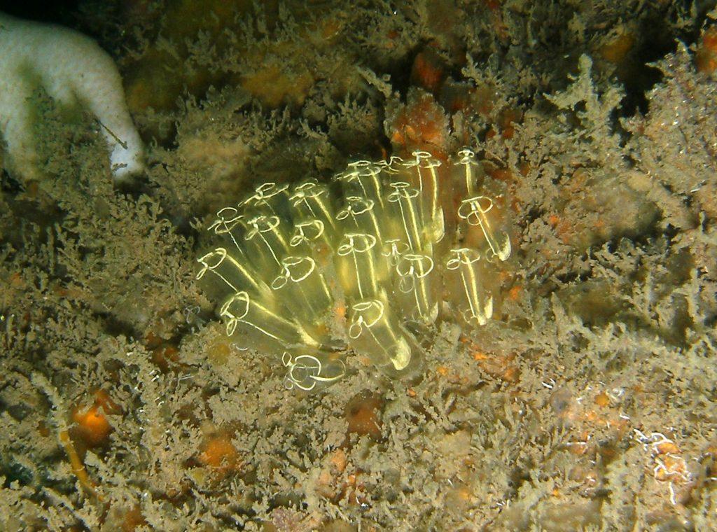 clavelinas de mar